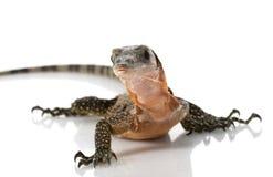 Peach Throat Monitor Lizard Stock Photography
