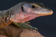 Peach-throated monitor / Varanus jobiensis Royalty Free Stock Photos