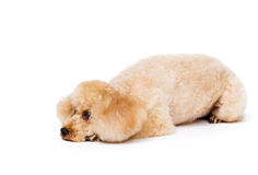 Peach toy poodle lying with his head down. Stock Images