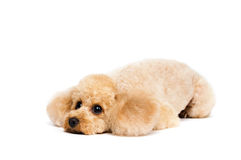 Peach toy poodle lying with his head down. Royalty Free Stock Photography