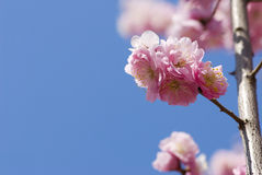 Peach Tree. And blue sky Royalty Free Stock Image