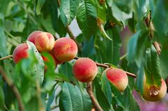 Peach tree. With peach fruit on it Stock Photos