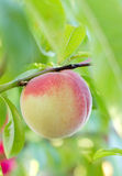 Peach on the tree Stock Photo