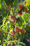 Peach tree Royalty Free Stock Image