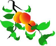 Peach tree. With ripe peach fruit on it, isolated Royalty Free Stock Images