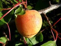 Peach tree Stock Images