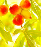 Peach tree Stock Photography
