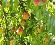 Peach tree stock photography