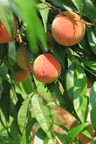 Peach Tree. With ripe fruits on branch Stock Photo
