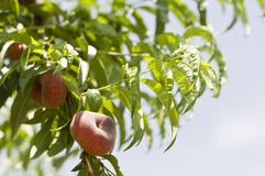 Peach in the tree Royalty Free Stock Photo