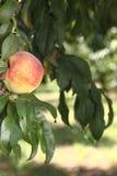 Peach Tree Royalty Free Stock Photography