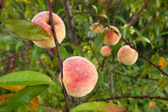 Peach tree. Ripe fruits from the peach tree. Close up Royalty Free Stock Photos