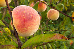 Peach tree. Ripe fruits from the peach tree. Close up Royalty Free Stock Photo
