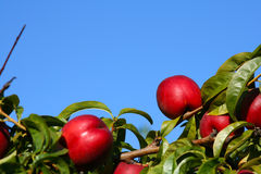 Peach tree. Leaves and fruit of a peach tree with blue sky royalty free stock photos