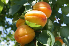 Peach Tree. Beautiful and delicious peaches hang on a stem royalty free stock photography