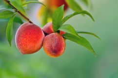 Peach tree Royalty Free Stock Photos