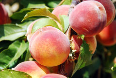Peach tree. Peaches on the branch of a tree with soft green background Royalty Free Stock Images