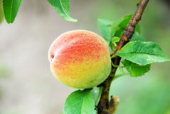 Peach on tree. Peache on the branch of a tree w Royalty Free Stock Images