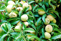 Peach tree Stock Photos