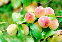 Peach tree. Peaches on the branch of a tree with soft green background Stock Photography