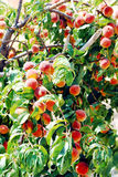 Peach tree. With ripe fruits on branch Stock Images
