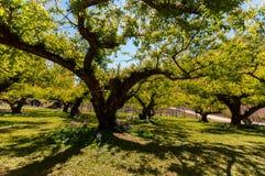 Peach Tree Stock Photos