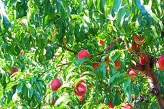 Free Peach Tree Royalty Free Stock Photo - 57508035