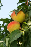 Peach on tree. Macro with green blurred background Stock Image