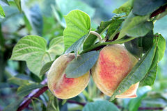 Peach Tree. Peaches growing in Coimbra, Portugal Royalty Free Stock Photography