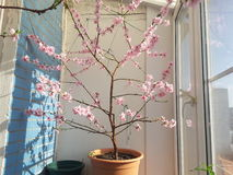 The peach tree on the balcony. A flowering peach tree on a warm balcony Royalty Free Stock Photography