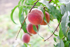 Peach on the tree Royalty Free Stock Photography