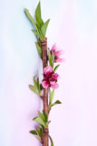Peach tree bloom Royalty Free Stock Photo