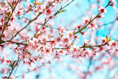The peach tree is in bloom with beautiful pink flowers Royalty Free Stock Photos