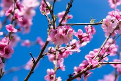 Peach tree in bloom. Blooming peach trees in spring Stock Images