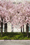 Peach tree in bloom Stock Photos