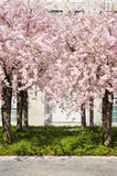 Peach tree in bloom Stock Images