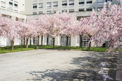 Peach tree in bloom Royalty Free Stock Image