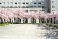 Peach tree in bloom Stock Photography