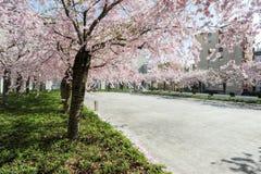 Peach tree in bloom Stock Photos