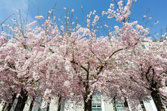 Peach tree in bloom Stock Image