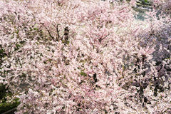 Peach tree in bloom Stock Photo