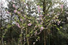 Peach tree bloom in spring Stock Photo