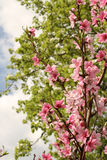 Peach Tree Blooming Stock Image