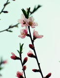 Peach tree blossom Stock Photos