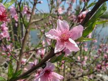 Peach tree blossoming on sunny day stock photography