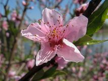 Peach tree blossoming on sunny day royalty free stock images