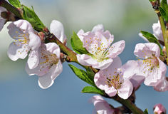 Peach Tree Blossoms. A peach tree blossoms in early spring royalty free stock photography