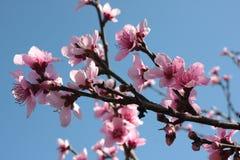 Peach Tree Blossoms Stock Photos