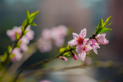 Peach flowers. Peach tree blossoms in spring stock photos