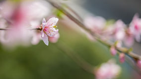 Peach flowers. Peach tree blossoms in spring royalty free stock photo